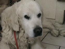 Sultan, chien Golden Retriever