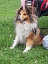 Sultan, chien Berger des Shetland