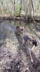 Sultan, chien Berger allemand