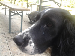 Sultane, chien Springer anglais