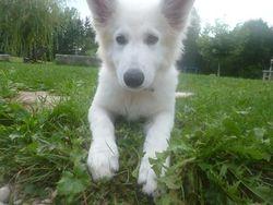 Sultane, chien Berger blanc suisse
