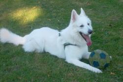 Sultant, chien Berger blanc suisse