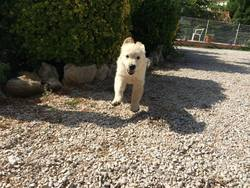 Summer, chien Golden Retriever