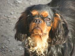 Summer, chien King Charles Spaniel