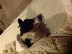 Sumo, chien Border Collie