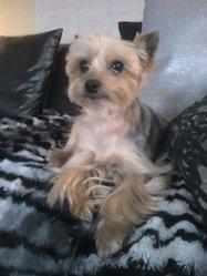 Sumo, chien Yorkshire Terrier