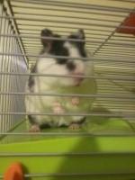 Sumo, rongeur Hamster