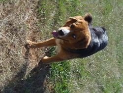 Sun, chien Bouvier bernois