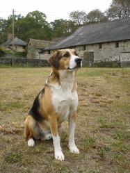 Sunny, chien Beagle-Harrier