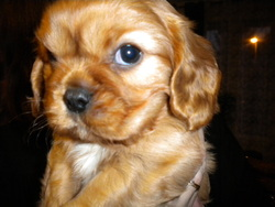 Sunny, chien King Charles Spaniel