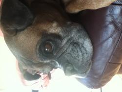 Sunny, chien Boxer