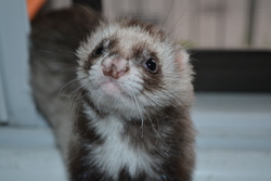 Sunny, rongeur Furet