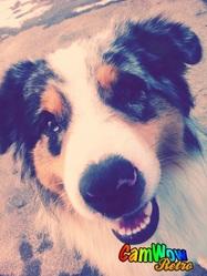 Sunny, chien Berger australien