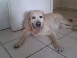 Sunny, chien Labrador Retriever