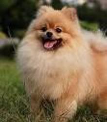 Sunny, chien Spitz allemand