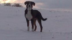 Suno, chien Grand bouvier suisse