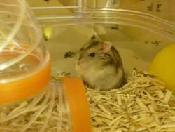 Sunshine, rongeur Hamster