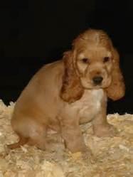 Suria, chien Cocker anglais