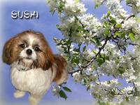 Sushi, chien Shih Tzu