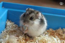 Sushi, rongeur Hamster