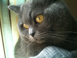 Sushi, chat Chartreux
