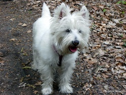 Sushi, chien West Highland White Terrier