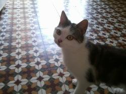 Sushie, chat Européen