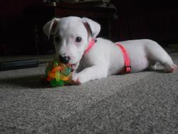 Sushie, chien Jack Russell Terrier
