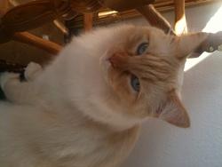 Sushy, chat Européen