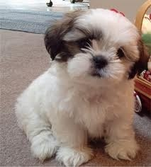 Sushy, chien Shih Tzu