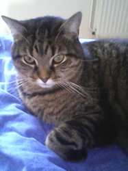 Susie, chat Européen