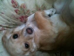 Suzy, chien Chihuahua