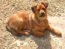 Sultan , chien Rottweiler