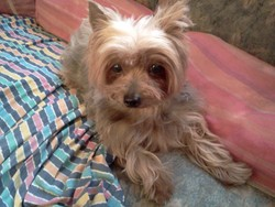 Suzie, chien Yorkshire Terrier