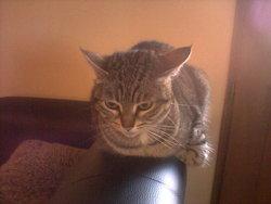 Suzie, chat Européen
