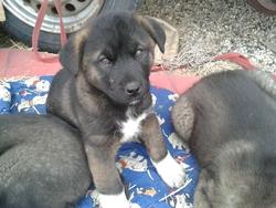 Suzie, chien Akita Inu