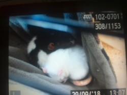 Suzie Et Lili, rongeur Rat