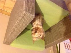 Suzy, chien Yorkshire Terrier