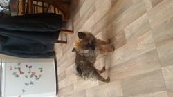 Suzy, chien Spitz allemand
