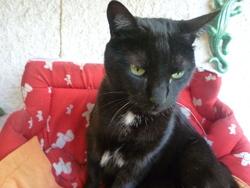 Suzy, chat Européen