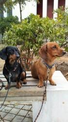Suzy Q, chien Teckel