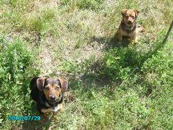 Svricha, chien Jack Russell Terrier