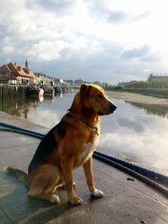 Swag, chien Berger allemand