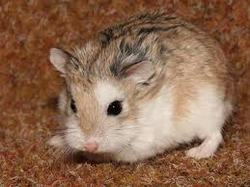 Swagy, rongeur Hamster