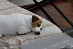 Swan, chien Jack Russell Terrier