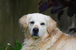 Swann, chien Golden Retriever