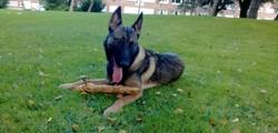 Swann, chien Berger belge