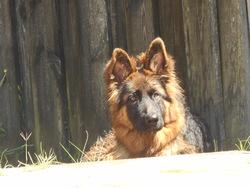Swanny, chien Berger allemand