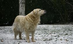 Swanny, chien Golden Retriever