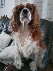 Swat, chien Cavalier King Charles Spaniel